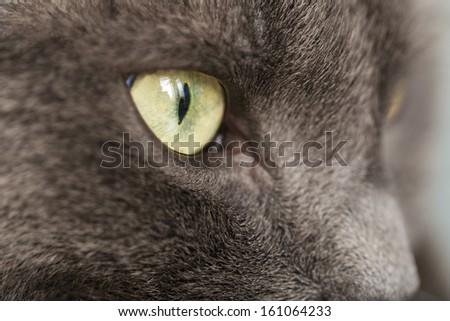close up portrait of british shorthair cat, shallow dof - stock photo