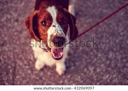 Close up portrait of brown dog. - stock photo