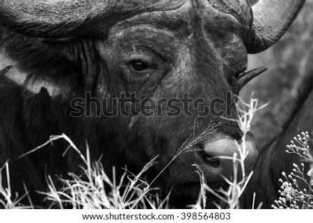 Close up portrait of cape buffalo head.South Africa - stock photo