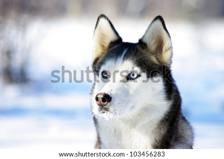close-up portrait of Chukchi husky breed dog on winter background - stock photo