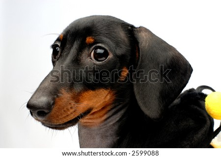 Close-up portrait of dachshund puppy side view - stock photo