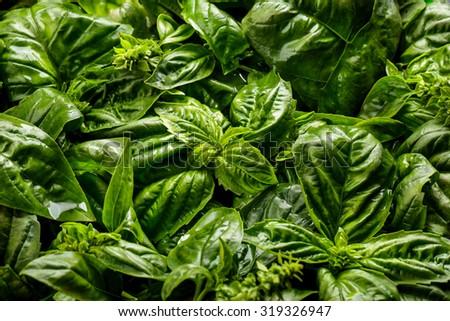 close up portrait of Fresh organic basilic leaves - stock photo