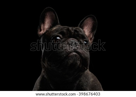 Close-up Portrait of Funny French Bulldog Dog Curiously Looking, Front view,  Isolated on black background - stock photo