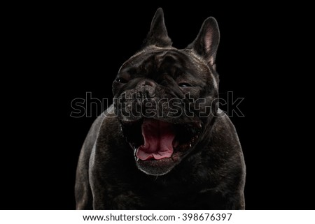 Close-up Portrait of Funny Screaming French Bulldog Dog and Curiously Looking with opened mouth Surprised, Front view,  Isolated on black background - stock photo