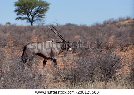 close up portrait of Gemsbok, Oryx gazella, dominant Gemsbok antelope in the park, Kalahari, South Africa  - stock photo