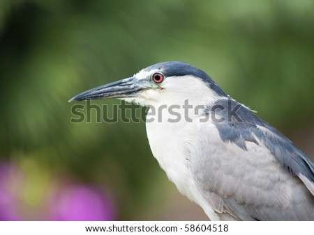 Close up portrait of Heron in Hawaii - stock photo