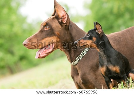 Close-up portrait of large and miniature purebred brown Doberman pinscher outdoors - stock photo