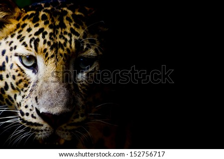 Close up portrait of leopard with intense eyes - stock photo