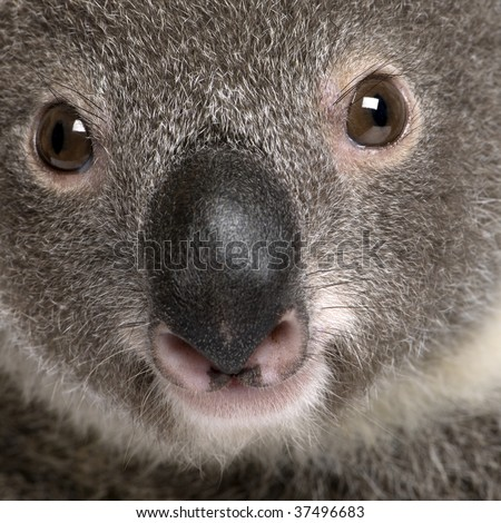 Close-up portrait of male Koala bear, Phascolarctos cinereus, 3 years old - stock photo