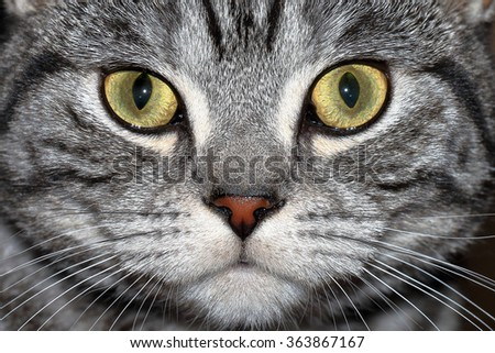 Close-up portrait of marble british cat  - stock photo