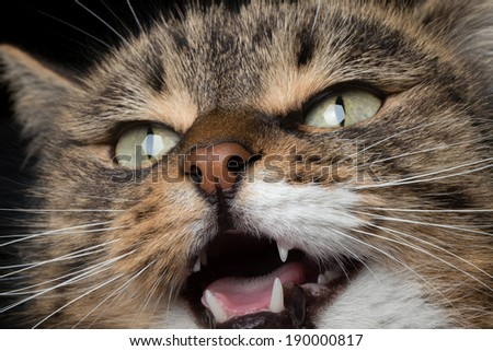 close-up portrait of meowing cat - stock photo