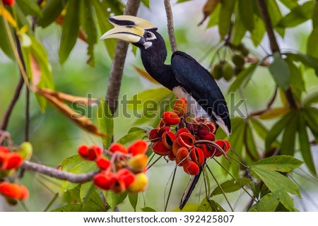 Close up portrait of Oriental pied hornbill(Anthracoceros albirostris) with red fruit in nature at Kengkracharn National Park,Thailand - stock photo
