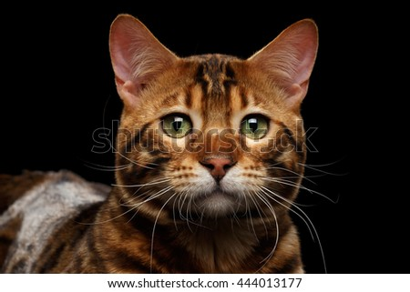 Close-up Portrait of Sad Bengal Male Cat with Green eyes looks with hope on Isolated Black Background, Front view, Adorable wild breed - stock photo