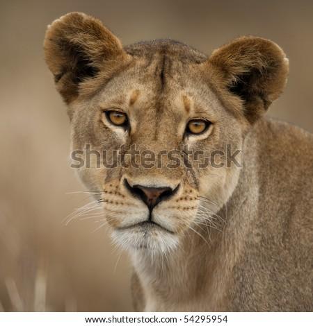 Close-up portrait of Serengeti National Park, Serengeti, Tanzania, Africa - stock photo