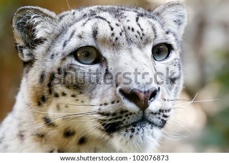 Close up Portrait of Snow Leopard Irbis (Panthera uncia) - stock photo