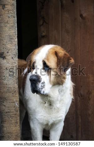 Close up, portrait of St. Bernard Dog - stock photo