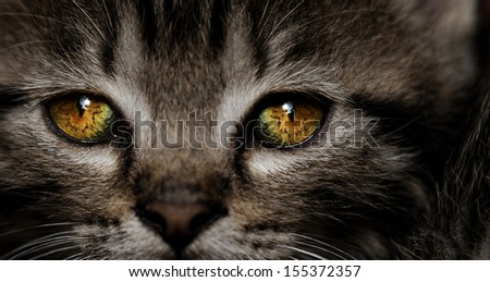 Close-up portrait of tabby house cat - yellow eyes - stock photo