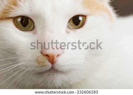 Close up portrait of the short haired Turkish Van cat also called Anatoli cat - stock photo