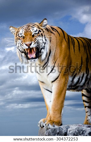 Close-up portrait of tiger's face with bare teeth. Bengal tiger isolated on blue sky background with clipping path.  - stock photo