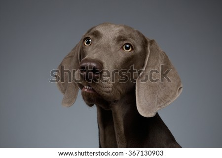 Close-up Portrait of Weimaraner dog Looking in Camera on white gradient background - stock photo