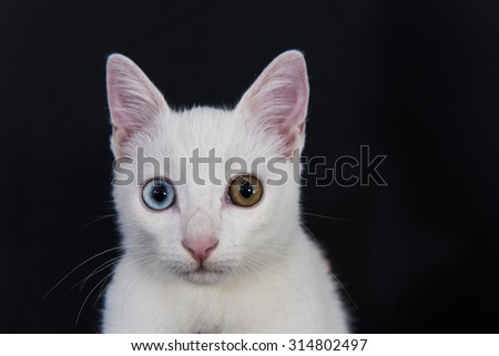 Close-up Portrait of White Cat with Green and Blue Eyes - stock photo