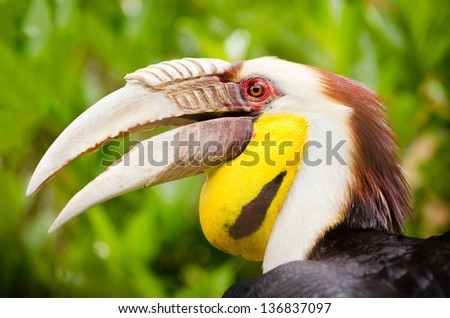 Close up portrait of wreathed hornbill - stock photo