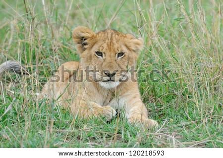 Close up portrait off beautiful little lion, Masai Mara, Kenya - stock photo