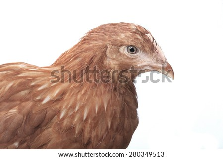 close-up portrait one red hen on white background studio - stock photo