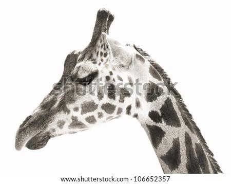 close-up portrait photo of the giraffe - stock photo