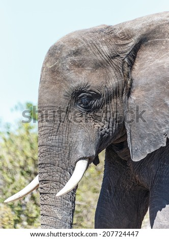 Close-up portrait the lone elephant in african savannah in national park Chobe, Botswana - stock photo