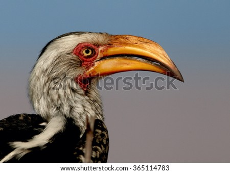 Close up portrait Yellow-billed hornbill Tockus flavirostris, adult in eye level. Large yellow beak,spotted feather, bright eye, soft light,blue blurred background, Hwange NP, Zimbabwe.  - stock photo