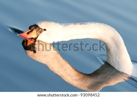 Close up profile of a swan with reflection - stock photo