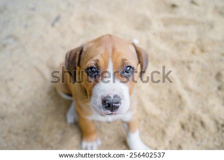 close up puppy pit bull sitting on ground - stock photo