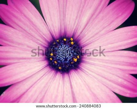 close up  Purple daisy flower - stock photo
