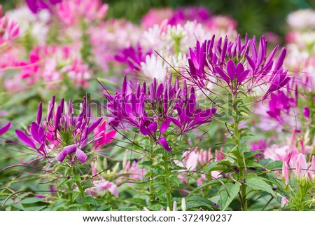 Close up Purple spider flower(Cleome hassleriana) in the garden - stock photo