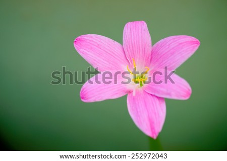 close up rain lily on green background - stock photo
