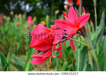 Close up red canna flower in garden. - stock photo