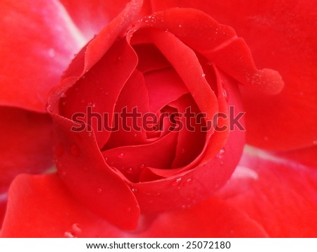 close up red roses - stock photo