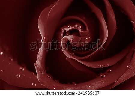 Close-up rose with water drop.Marsala tone - stock photo
