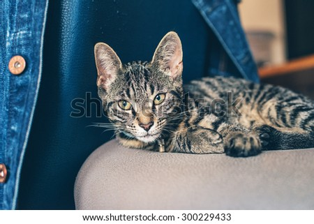 Close up Serious Gray Tiger Cat Pet Lying on a Chair Inside the House and Looking Straight at the Camera with Ears Up. - stock photo