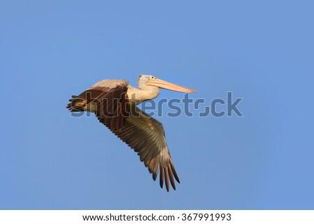 Close up shot flying Pelican bird - stock photo
