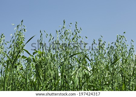 Close up shot . green oat field on summer day on blue sky - stock photo
