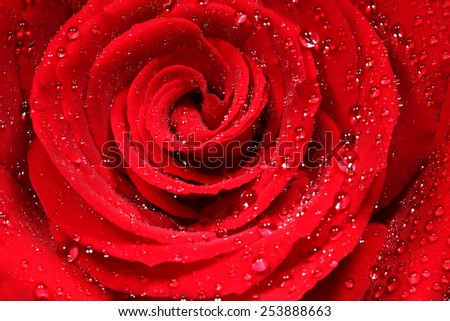 close-up shot of a dark red rose in fresh blossom with droplets  - stock photo