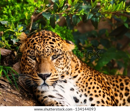 Close-up shot of a gorgeous leopard - stock photo