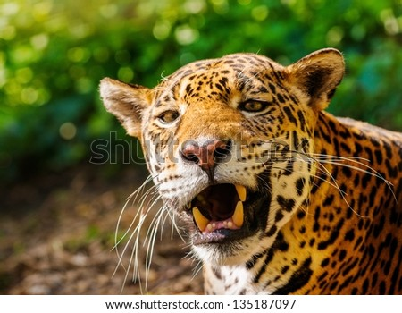 Close-up shot of a gorgeous roaring leopard - stock photo