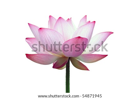 close-up shot of a pink lotus flower isolated - stock photo