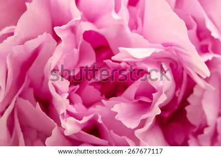Close up shot of a Pink Peony - stock photo