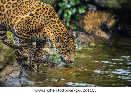 Close-up shot of a young Jaguar cat drinking water - stock photo