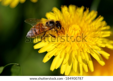 Close up shot of Bee on the Dandelion flower. - stock photo