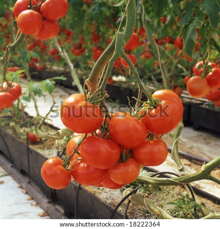 close up shot of fresh tomatoes growing in conservatory - stock photo
